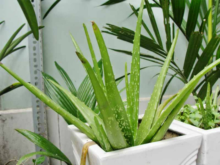 4- Phòng bếp nên đặt cây gì theo phong thủy để thu hút tài lộc
